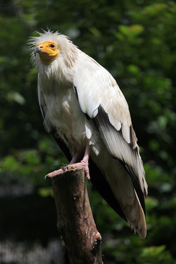Avvoltoio egiziano (percnopterus del Neophron) immagine stock