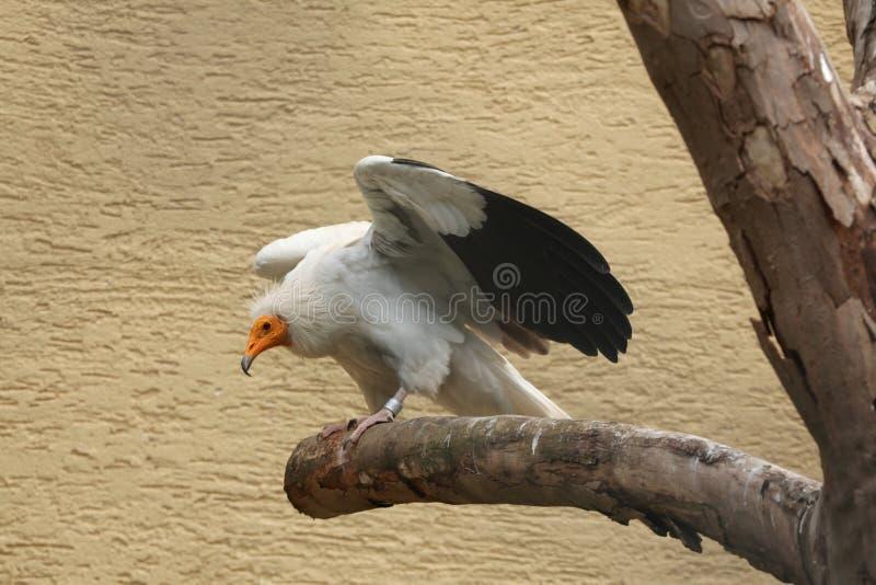 Avvoltoio egiziano (percnopterus del Neophron) fotografia stock libera da diritti