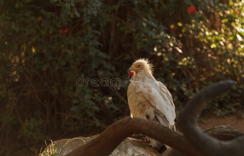 Avvoltoio egiziano, percnopterus del Neophron fotografia stock libera da diritti