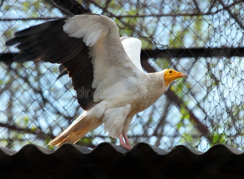 Avvoltoio egiziano (percnopterus del Neophron) immagine stock libera da diritti