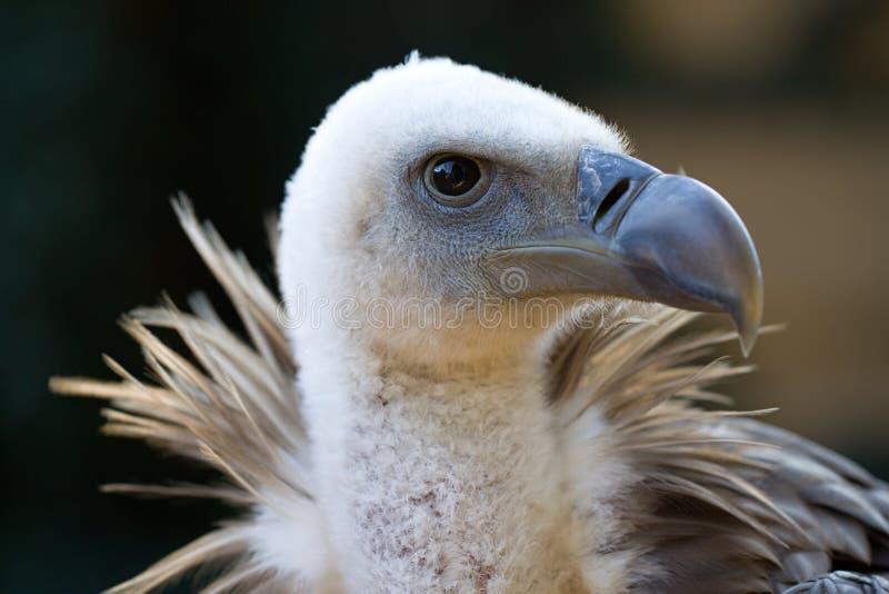 Avvoltoio himalayano fotografia stock libera da diritti