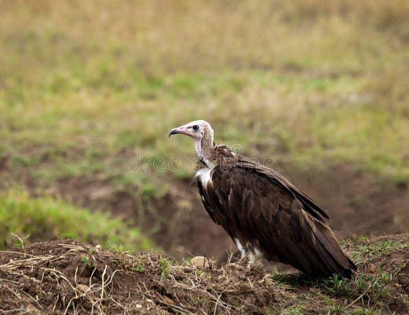 Avvoltoio incappucciato immagine stock libera da diritti