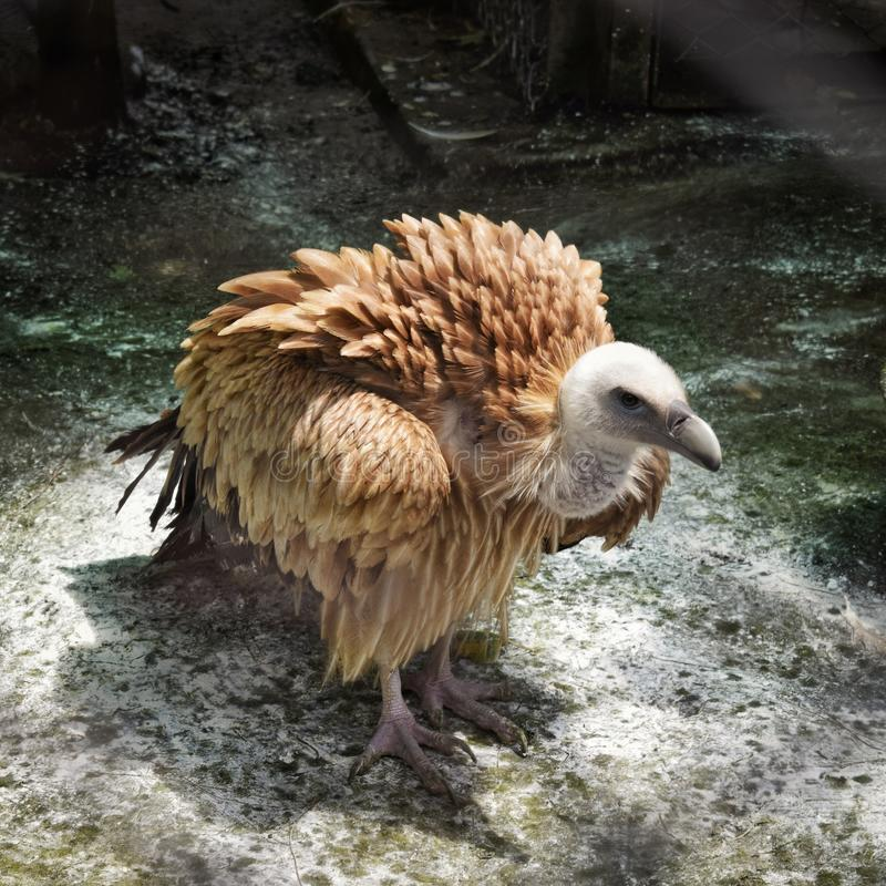 Avvoltoio ingabbiato fotografie stock