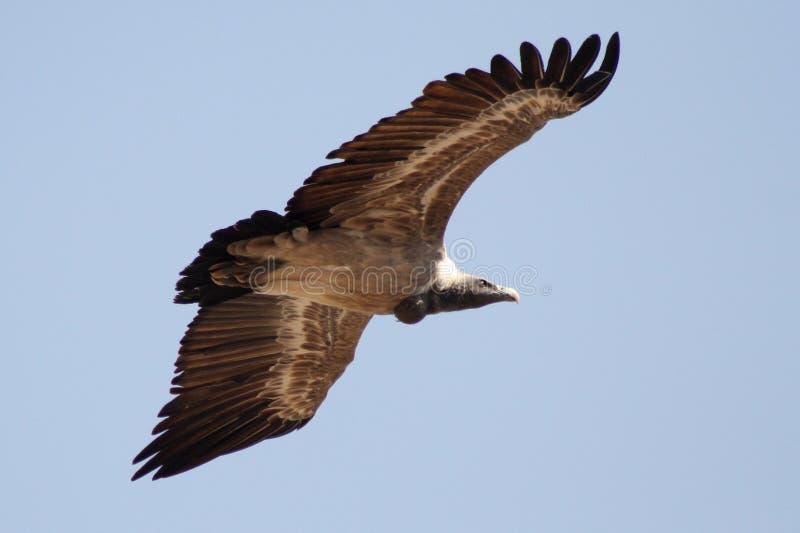 Avvoltoio, Jodhpur, Rajastan immagini stock