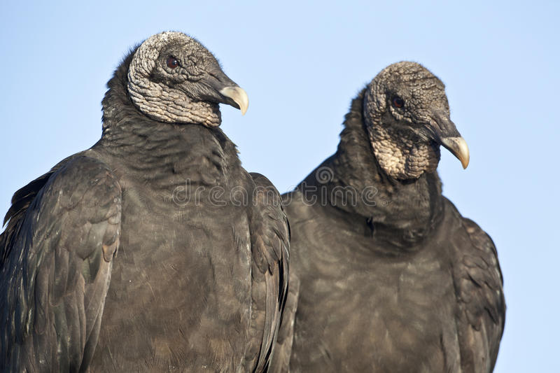 Avvoltoio nero (atratus del Coragyps) fotografie stock