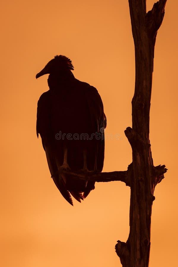 Avvoltoio nero che Roosting in un albero al tramonto - Florida fotografie stock libere da diritti