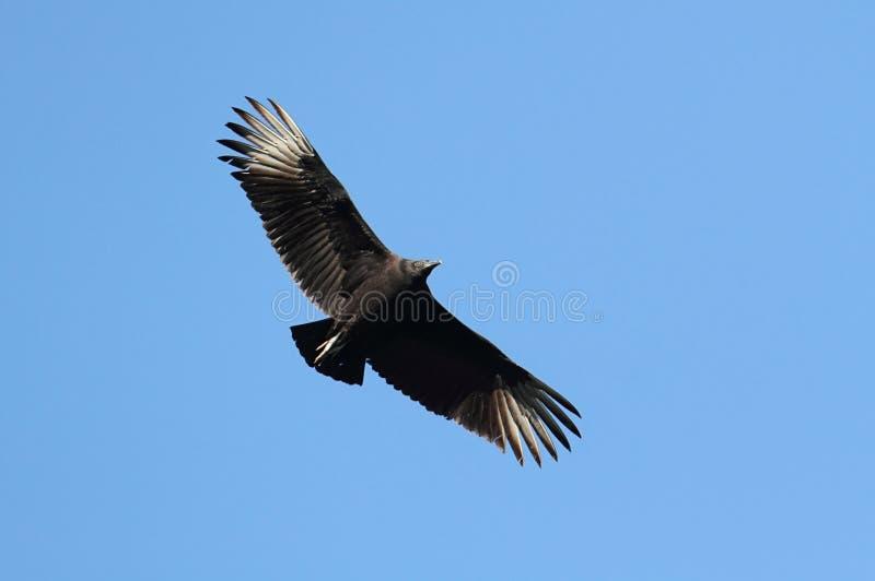 Avvoltoio nero durante il volo immagini stock