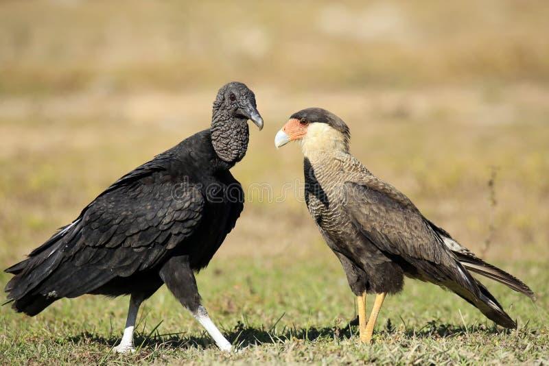 Avvoltoio nero e Caracara del sud immagini stock
