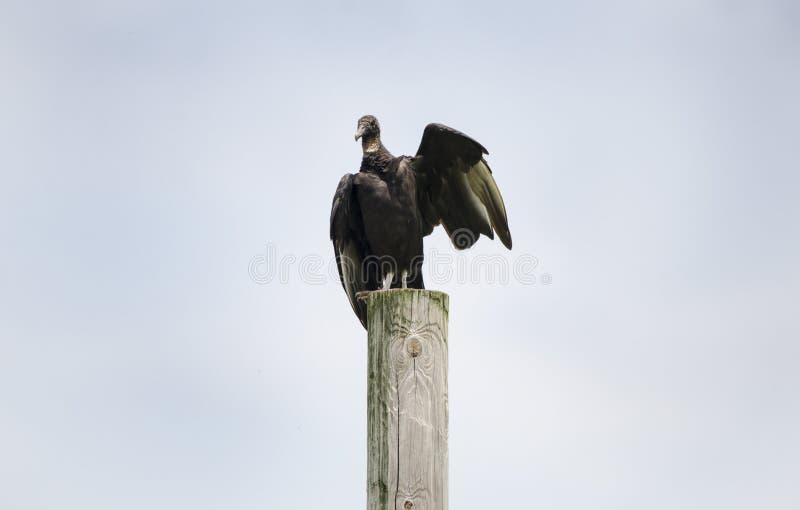Avvoltoio nero sul telefono palo, Atene Georgia U.S.A. immagine stock