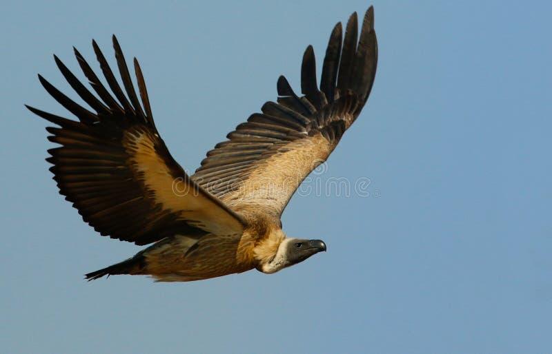 Avvoltoio posteriore di bianco fotografia stock