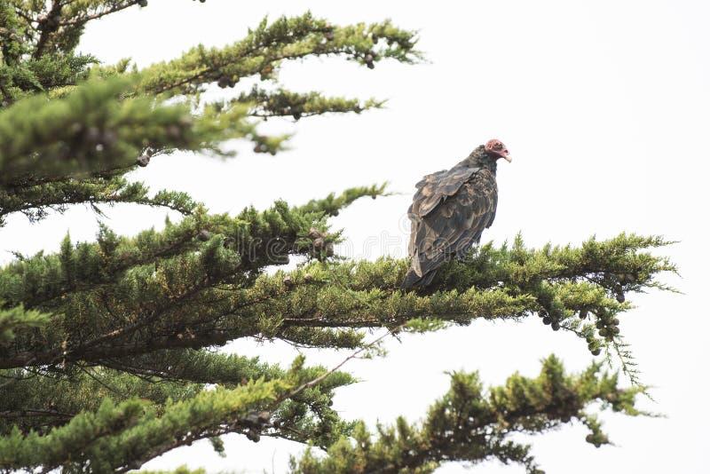 Avvoltoio selvaggio su un arto fotografia stock