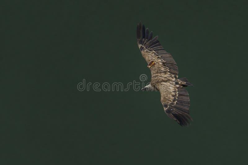 Avvoltoio in un volo libero sopra il fiume immagini stock