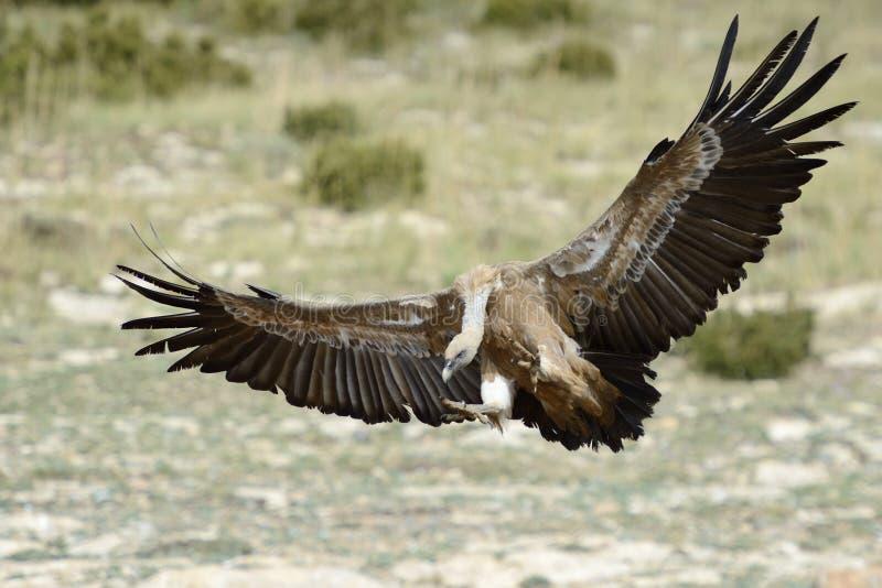 Avvoltoio in volo fotografia stock