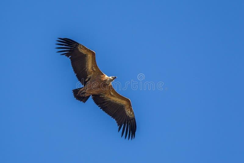 Avvoltoio in volo immagine stock libera da diritti