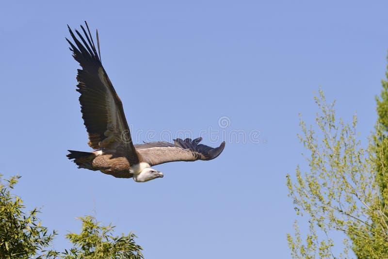 Avvoltoio in volo immagini stock libere da diritti