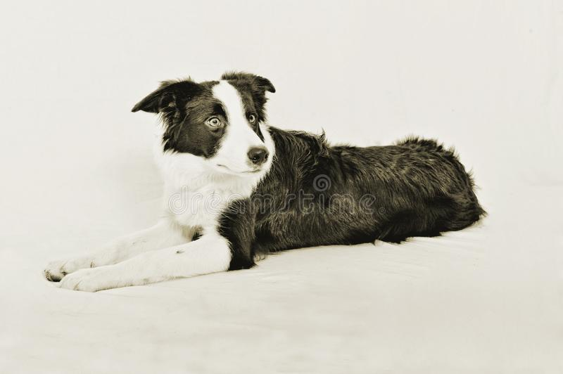 A border collie that seems to be scare to death... royalty free stock images