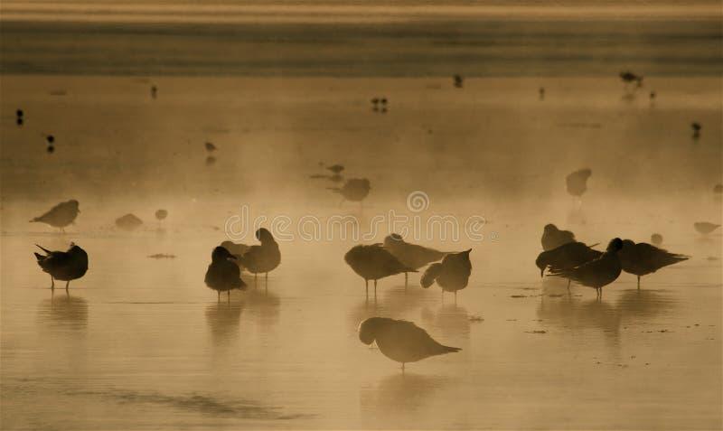 Awakening. Birds of the Altiplano awakening at the Laguna Colorada Bolivia stock image