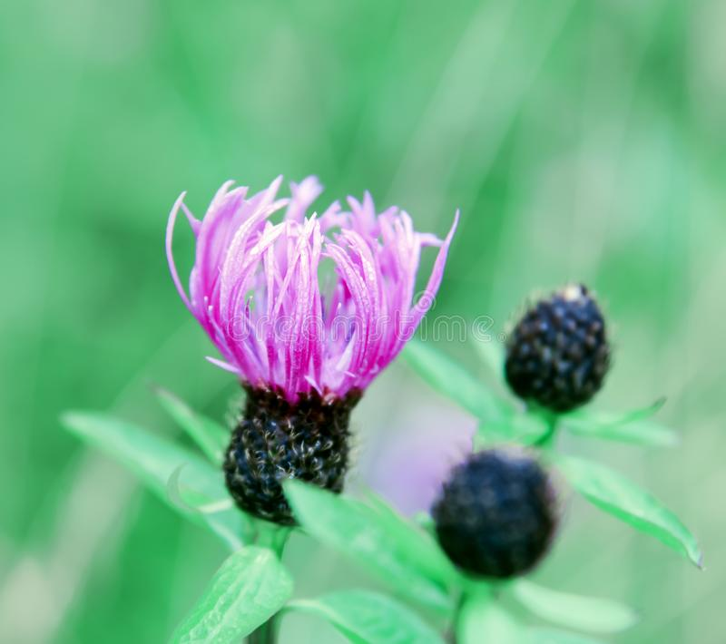 Awakening wild flower bud Cirsium arvense. Bright morning paint. Transparent clean air filled with the moisture of the departing night stock photo