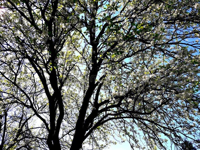 Awakeningofnature весны сливы цветя стоковое фото rf