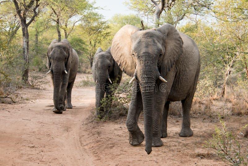 Awalking Elefantherde stockbild