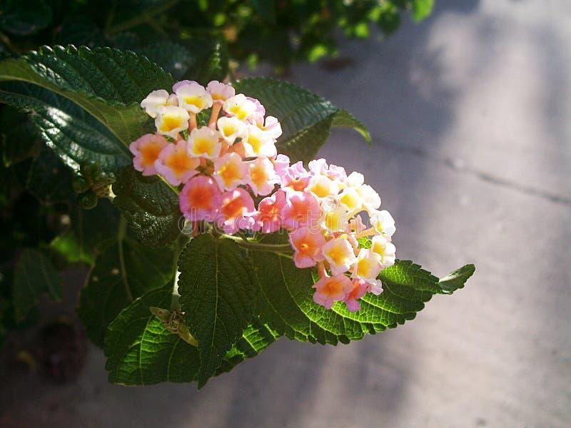 Awasome kwiaty menchie & kolor żółty obrazy royalty free