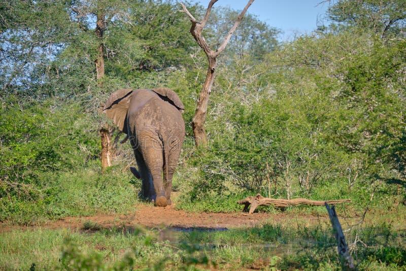 away gå för elefant royaltyfri foto