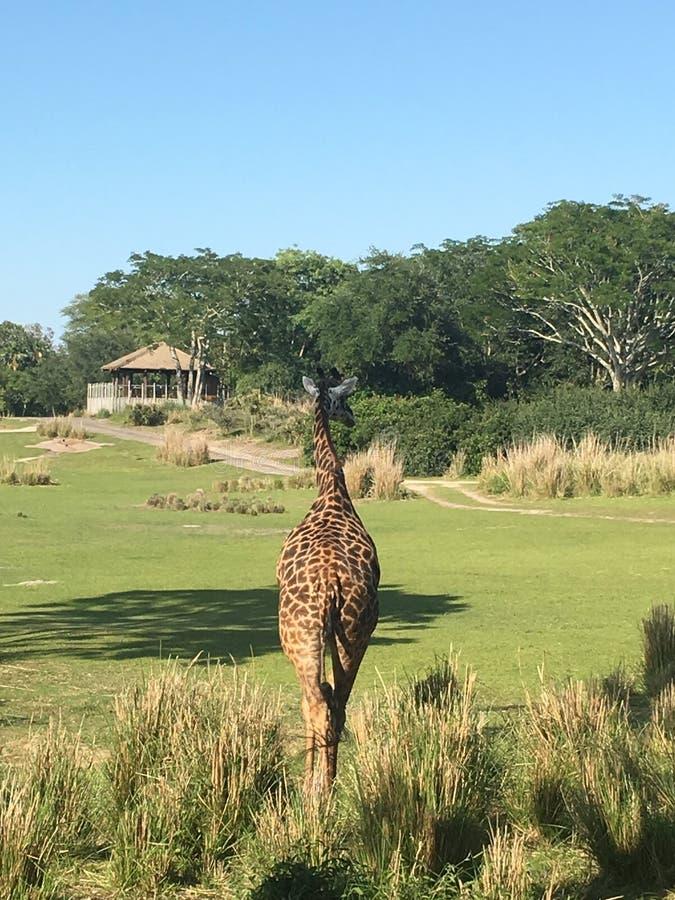 away gå för giraff royaltyfri bild