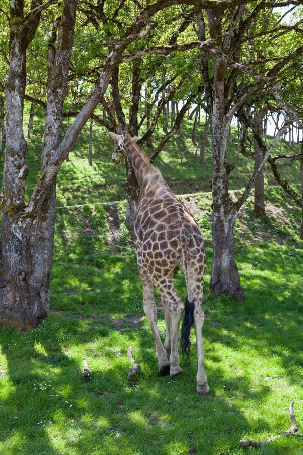 away gå för giraff royaltyfria foton