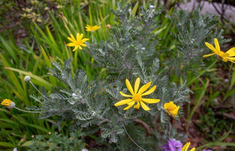Awe gele bloemen in de botanische tuin van Koishikawa in maart Tokio royalty-vrije stock foto