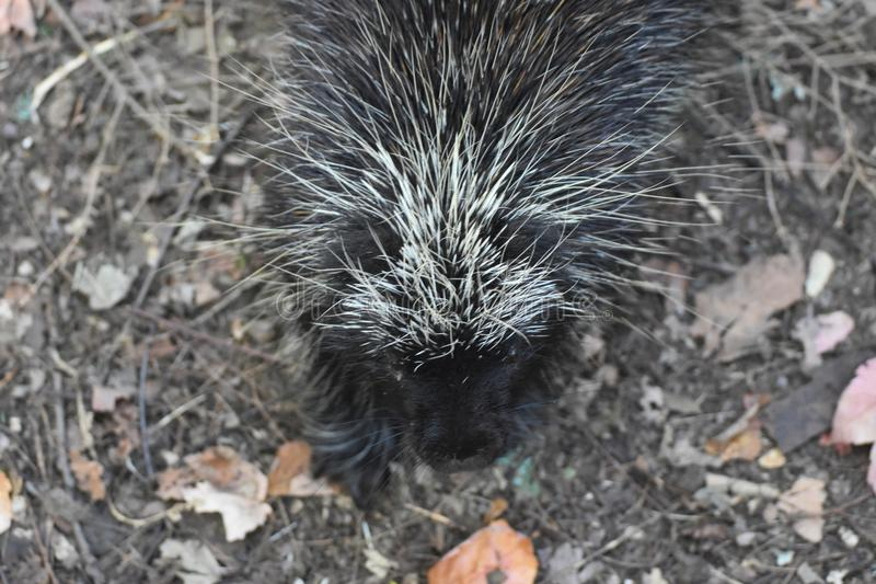 Awesome above shot of a wild porcupine with black and white quills stock images