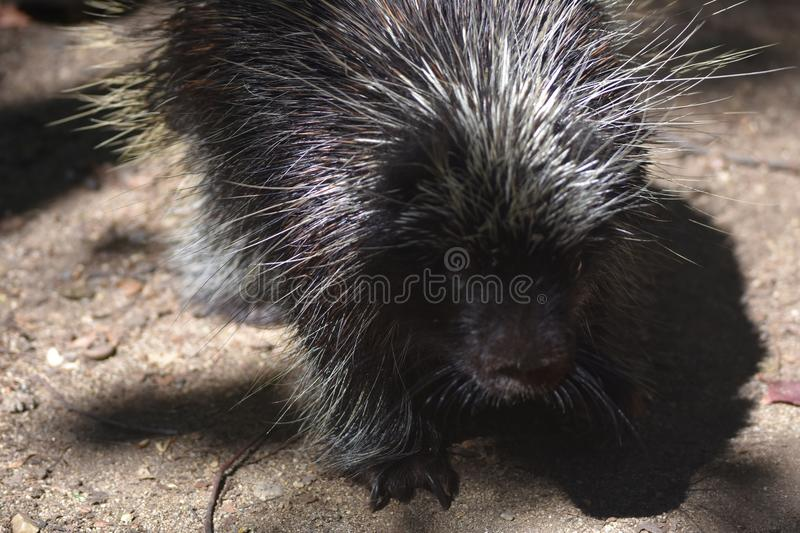Awesome close up photo of a wild porcupine royalty free stock photos
