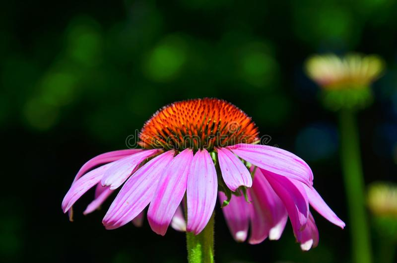 Awesome close up picture of Echinacea purpurea, known also as purple coneflower, with dark blurred background royalty free stock photos