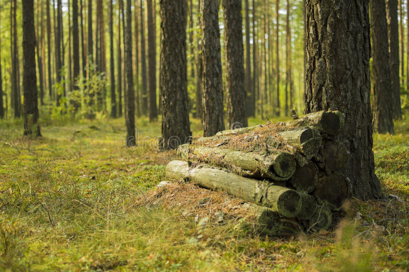 Awesome forest in the Republic of Belarus stock image