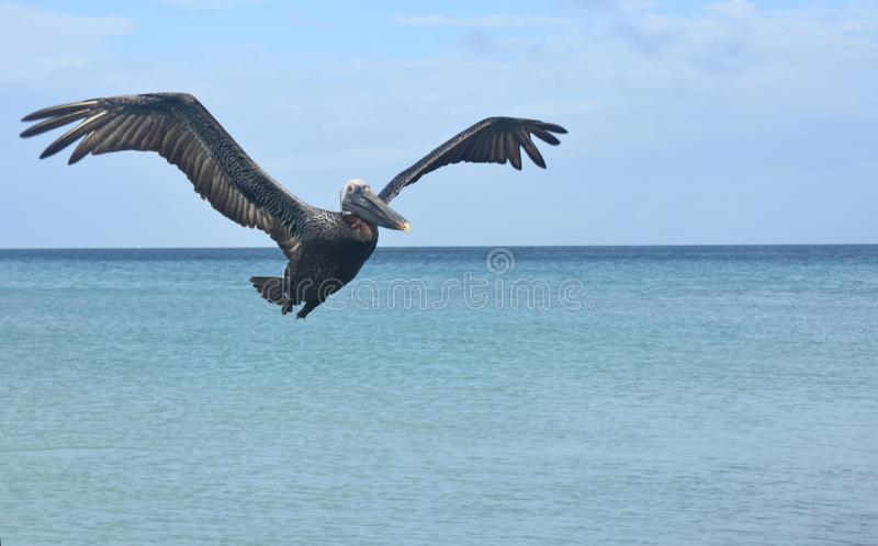 Awesome front photo of a pelican flying to the camera stock photos
