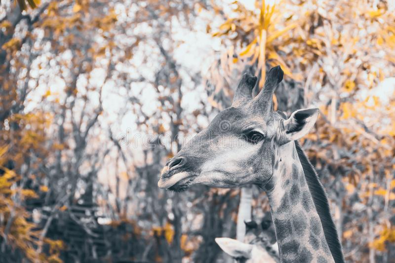 Awesome giraffe outdoor shot.nature outdoor landscape background vintage tone royalty free stock images