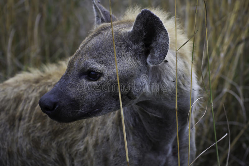 Awesome Hyena