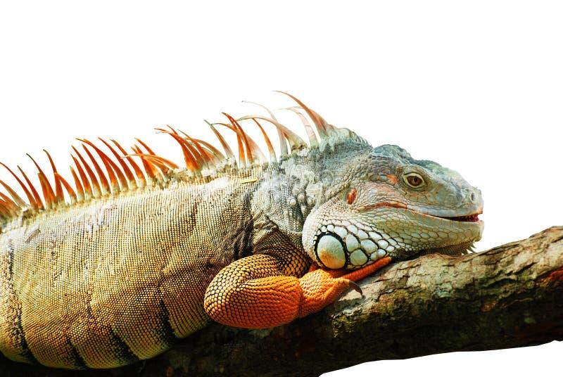 Awesome Iguana On The White Background Royalty Free Stock Photography