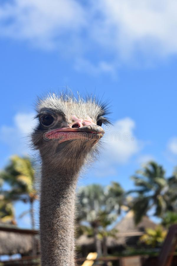 Awesome Image of Ostrich Making a Funny Face royalty free stock images