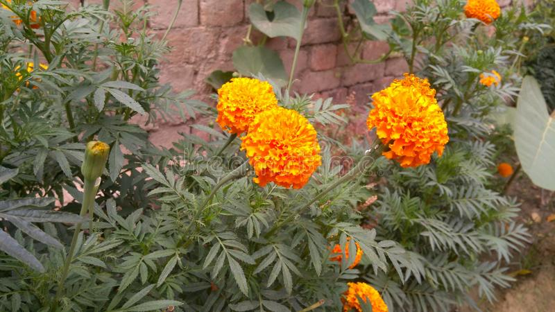 Awesome MARIGOLD stock photography