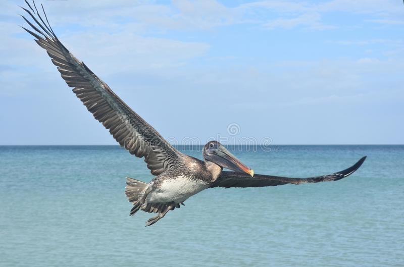 Close up photo of a pelican flying through the sky royalty free stock photos