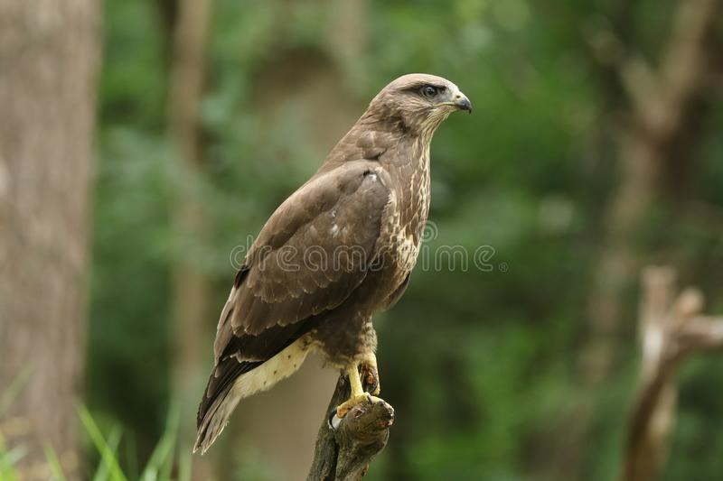 Beautiful portrait of a cheeky juvenile buzzard royalty free stock images