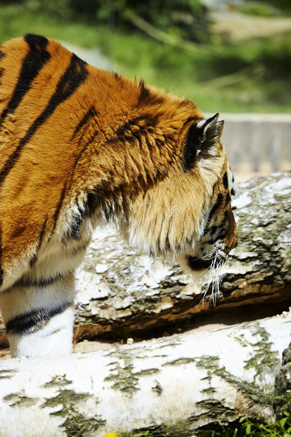 Download Big tiger stock image. Image of body, prowl, feline, portrait - 30100679