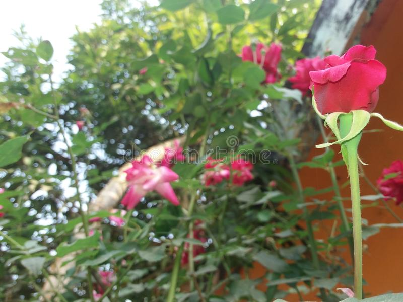 Awsome rose in the morning short stock photos