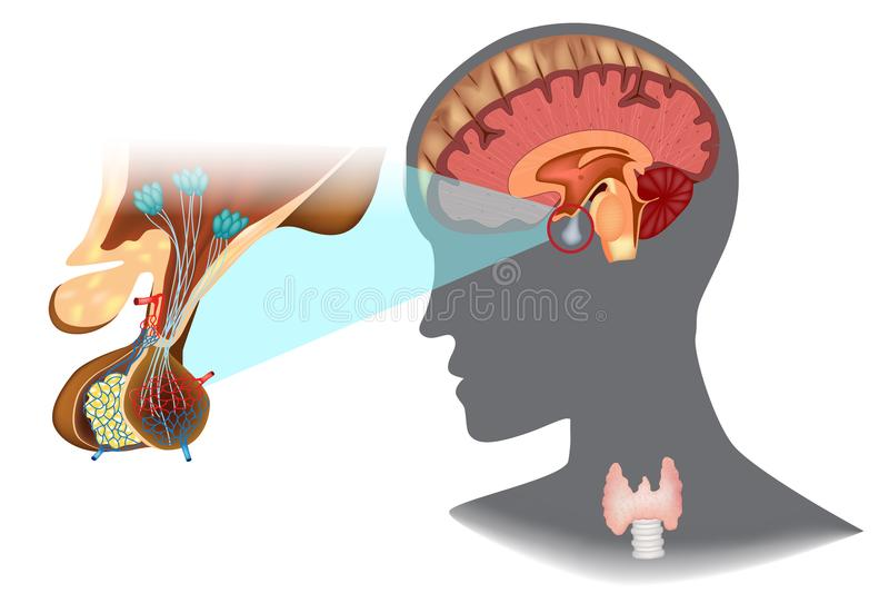 axe Hypothalamique-pituitaire thyroïde illustration libre de droits
