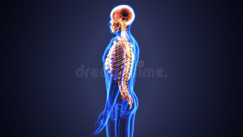 3d Illustration Of Axial Skeleton Include Skull Vertebral Column