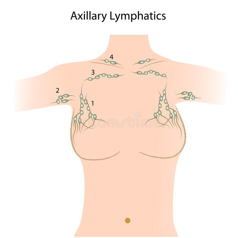 axillary lymfaknutpunkter stock illustrationer
