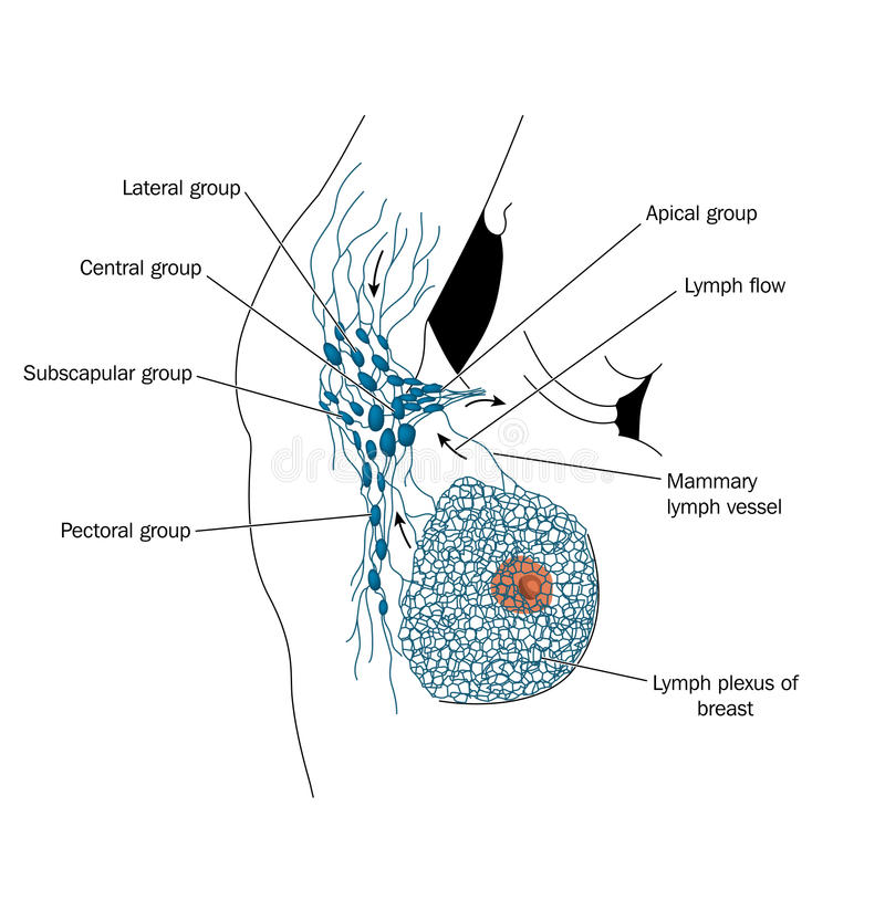 Axillary lymph nodes vector illustration