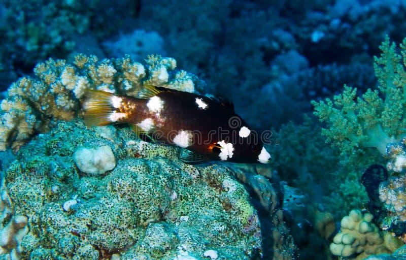 Axilspot hogfish, νεανικός στοκ φωτογραφίες