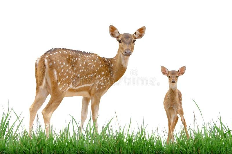 Axis deer stock photo