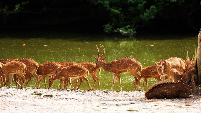 Download Axis Deer stock image. Image of shine, river, deer, spotted - 9480895